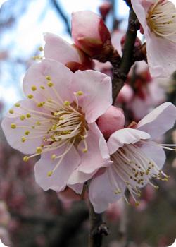 floraison prunier japon